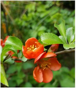 escallonia als alternatief voor buxushaag