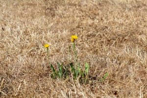 Geen droogtebestendige tuin. Maar een verdroogt grasveld die wat verder van de woning ligt is ideaal om te verlagen en regenwater in op te vangen