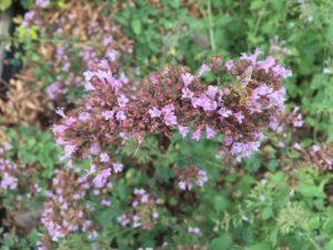Origanum 'rosenkuppel' is een sterke plant voor de droogtebestendige tuin. Hij bloeit lang en trekt veel bijen en hommels aan