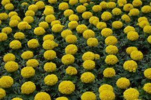gevulde bloemen mooi maar verder waardeloos
