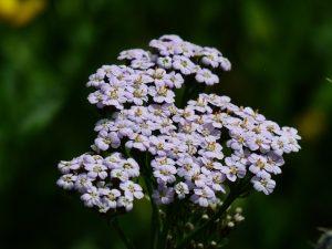 Vaste planten snoeien voor de bloei?