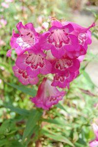 Penstemon snoeien voor langere bloei
